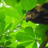 Ворона затаилась в листве каштана :: Маргарита Батырева