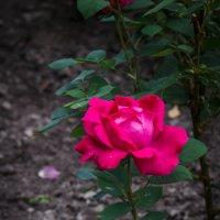 « …Славная роза, чудная роза, Сладостный символ любви,…» :: Андрей Нибылица