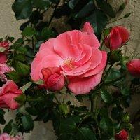 Плетистая роза,прекрасная роза... :: Galina Dzubina