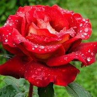 Розы на клумбах города :: Милешкин Владимир Алексеевич