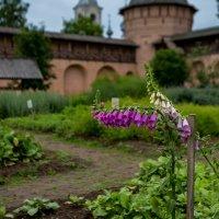 В аптекарском огороде Спасо-Ефимиева монастыря :: Оксана Пучкова