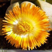"""Цветок """"Литопса"""" :: Aleks Ben Israel"""