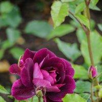 Летние розы :: Ольга