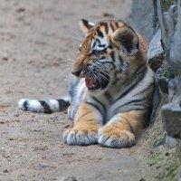 Амурский тигр :: Владимир Габов