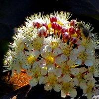 Цветёт пызыреплодник :: Светлана Петошина