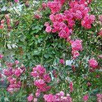 Пышный розовый полог :: Нина Корешкова
