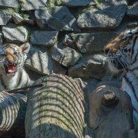 Тигровая семейка :: Владимир Габов