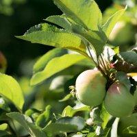 Яблочки :: Olga Golub