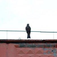 Коршун на крыше дома. :: Вадим Басов