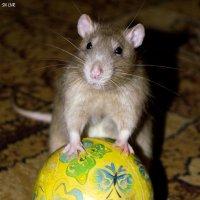 «МОЙ ГОЛОС» Номинация «Братья наши меньшие». Мой любимый крыс Трэвис :: Наталья (ShadeNataly) Мельник