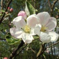 Яблоня в цвету :: Maryana Petrova