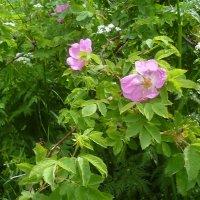 Шиповник цветёт. :: Mary Коллар