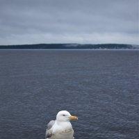 Чайка на берегу Онежского озера :: Avada Kedavra!