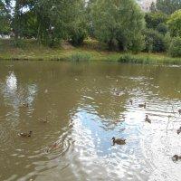 Утки на поверхности пруда :: Tarka