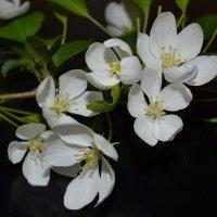 цвет яблони :: Олеся Ушакова