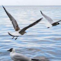 Чайки в полете :: Татьяна Бронзова