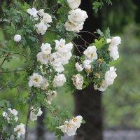 роза садовая :: maikl falkon