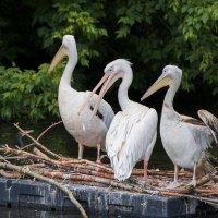 Пеликаны :: Олег Савин