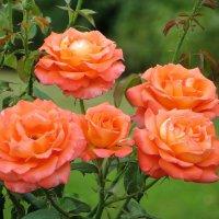 Июльские розы :: Татьяна Смоляниченко