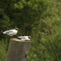 речные чайки :: оксана