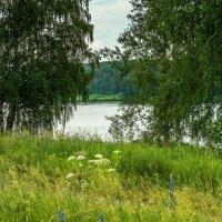 Белые березы у реки стоят... :: Владимир Деньгуб