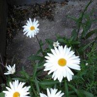 Белые ромашки :: Дмитрий Никитин