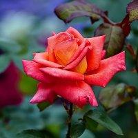 Сибирская роза. :: Виктор Шпаков