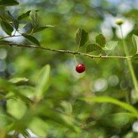Ща как наварю вишневого варенья))) :: Светлана Винокурова