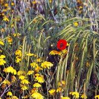 Полевые цветы ... :: Aleks Ben Israel