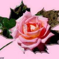 Розовая роза :: Нина Бутко