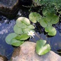 На пруду ., там лилии цветут . :: Мила Бовкун