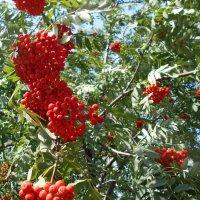 Большие и малые гроздья рябины :: Tarka