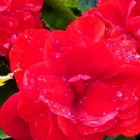 Розы после дождя :: Светлана