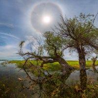 История, как  деревья переносили гало :: Фёдор. Лашков