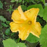 Цветок кабачка :: Дмитрий Никитин