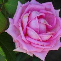 Июльская роза... :: Тамара (st.tamara)