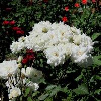 Букет белых роз :: Нина Бутко
