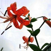 Конкурс. Фото цветов - на фоне неба # 2. Тигровая лилия - N2 :: Наталья (ShadeNataly) Мельник