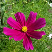 Космея - изящный цветок! :: Galina Dzubina