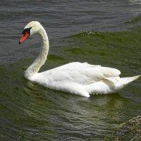 Лебеди на заливе :: Маргарита Батырева
