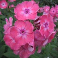 Розовые флоксы :: Дмитрий Никитин