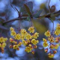 Что это за растение я не знаю, но очень красиво цвел кустик :: Катерина Клаура