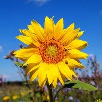 Цветок подсолнечный.. :: Андрей Заломленков