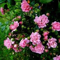 Розовые розы. :: Антонина Гугаева