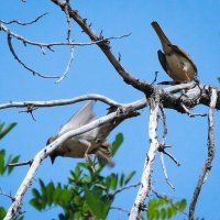Птички 4  (или история  любви) :: Ron Леви