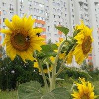 Городские подсолнухи :: наталия