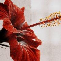 Красивый красный цветок :: Сашко Губаревич