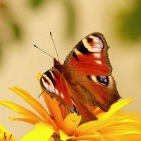 на жёлтом цветке 3 (павлиний глаз) :: Александр Прокудин