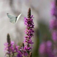 Дербенник и бабочка-капустница :: Елена Ахромеева