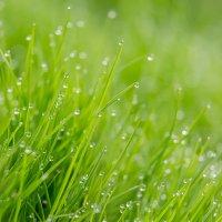 Роса на траве :: Александр Синдерёв